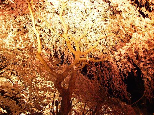 高田公園の観桜会_d0144720_1112971.jpg