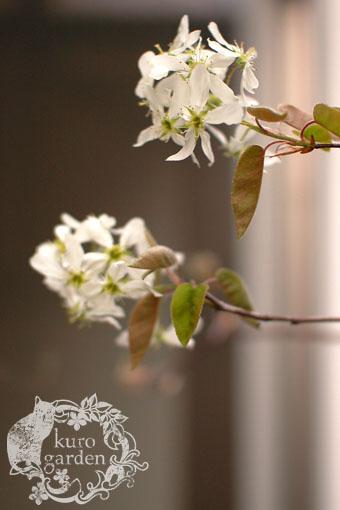 白いリクニスの寄せ植え_e0119151_19212462.jpg
