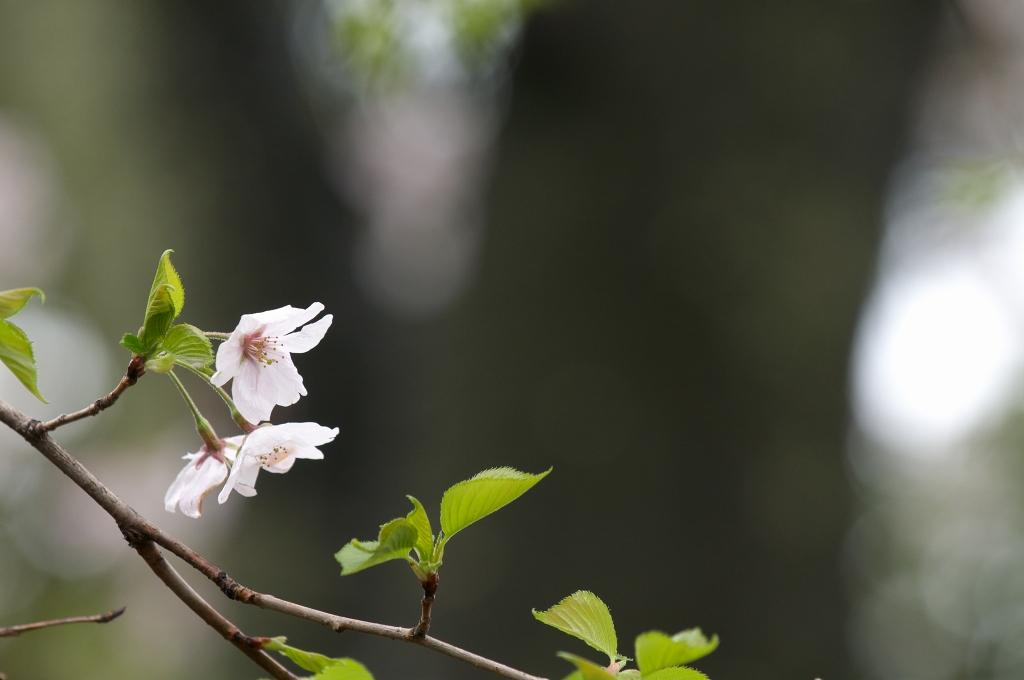 葉桜_f0018464_2182426.jpg