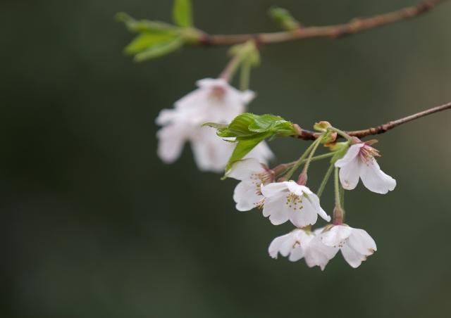 葉桜_f0018464_2191213.jpg