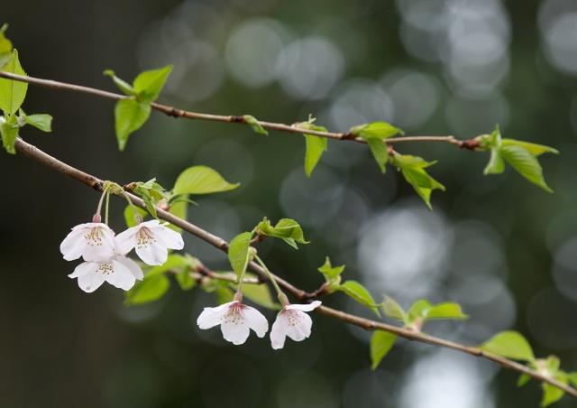 葉桜_f0018464_2192146.jpg