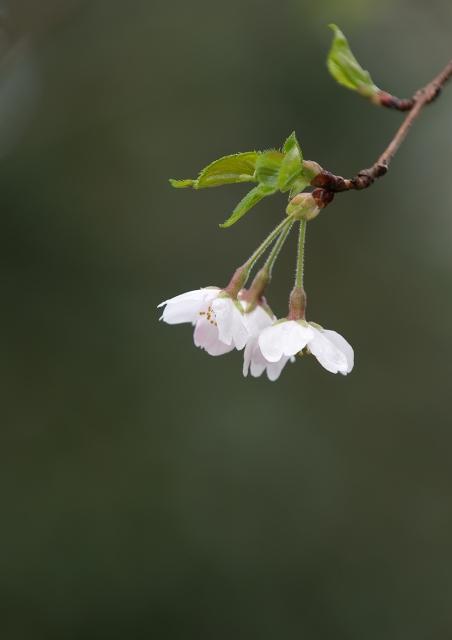 葉桜_f0018464_219455.jpg