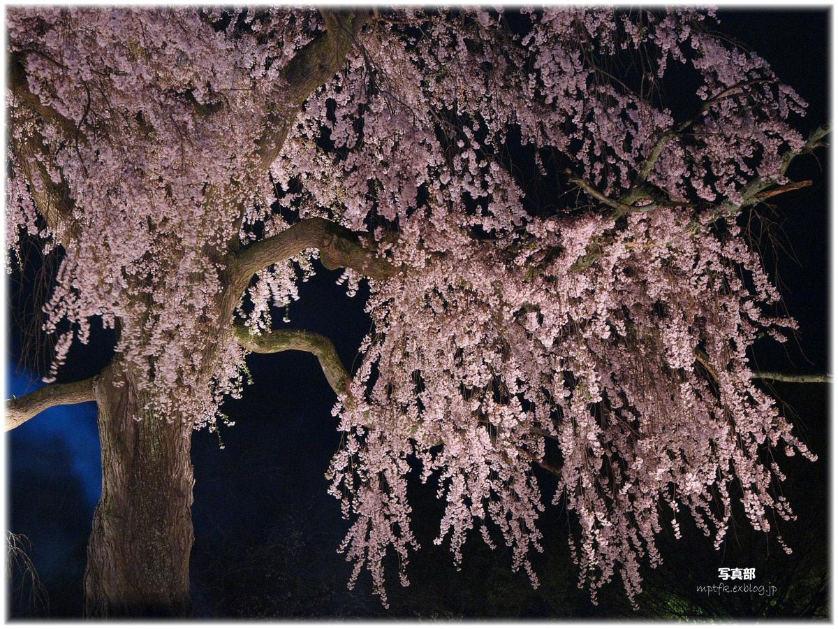 京都 円山公園 桜_f0021869_1962183.jpg