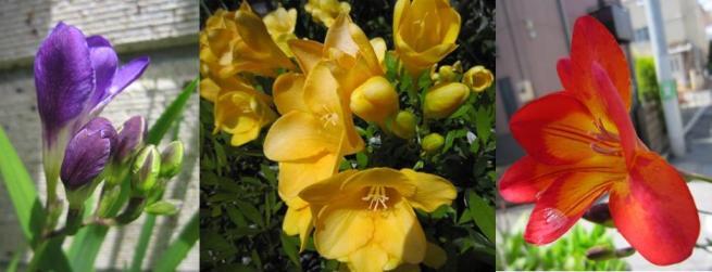 フリージアが咲き始めました_c0052576_21512741.jpg