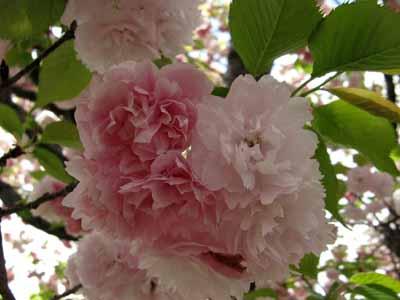 今年の「造幣局桜の通り抜け」♪_d0136282_19464315.jpg