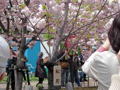 今年の「造幣局桜の通り抜け」♪_d0136282_1947880.jpg