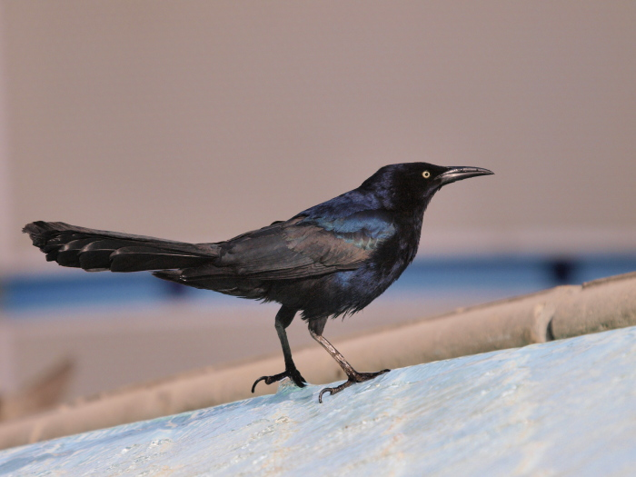 オナガクロムクドリモドキ : Great-tailed Grackle @ Las Vegas_e0156403_20475059.jpg