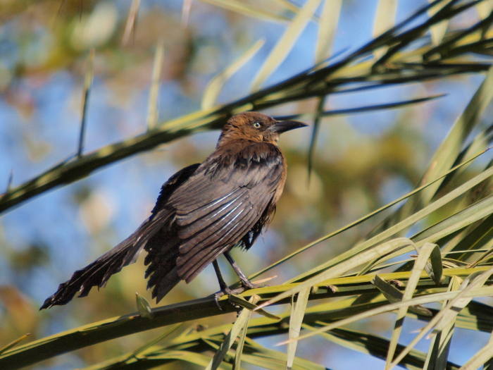 オナガクロムクドリモドキ : Great-tailed Grackle @ Las Vegas_e0156403_20504214.jpg