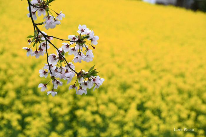 桜を求めて琵琶湖一周ドライブ ②_a0116472_1540222.jpg