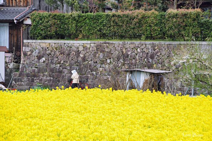桜を求めて琵琶湖一周ドライブ ②_a0116472_15461035.jpg