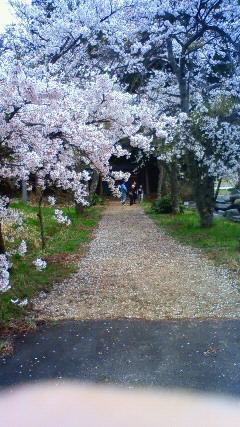 実家の桜_a0098174_2204069.jpg