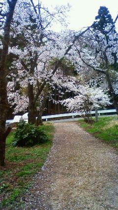 実家の桜_a0098174_2222572.jpg