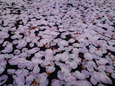 桜回廊_b0163804_935990.jpg