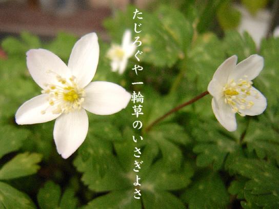 一輪草_e0099713_19383482.jpg