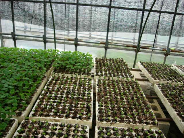 畑の土は水分で飽和状態なので・・苗床作業_c0222448_11311460.jpg