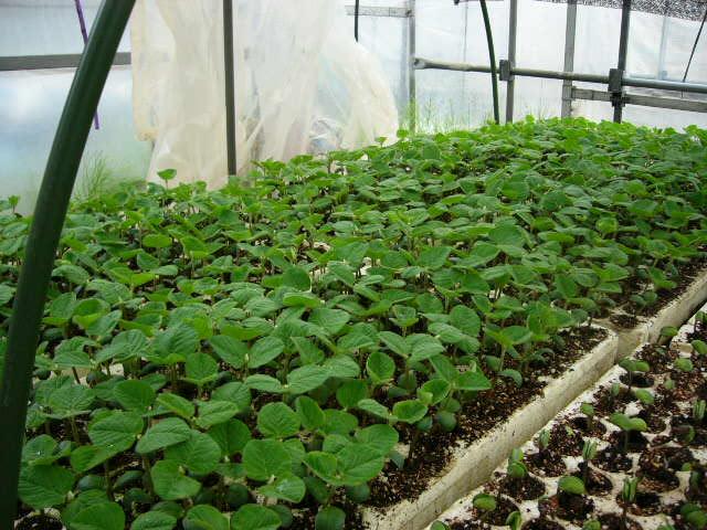 畑の土は水分で飽和状態なので・・苗床作業_c0222448_11312029.jpg