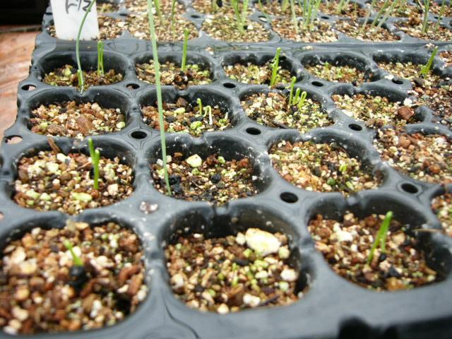 畑の土は水分で飽和状態なので・・苗床作業_c0222448_11312737.jpg
