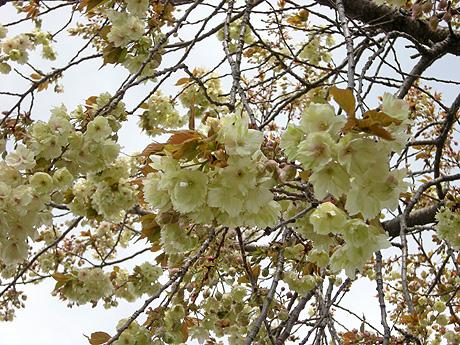 4月24日 八重桜咲く_a0001354_2274564.jpg