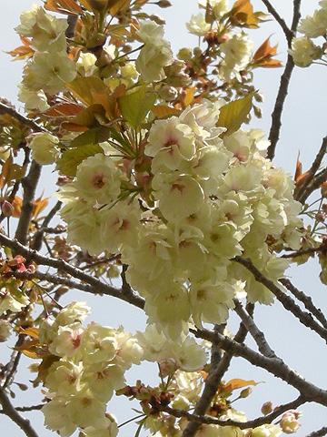 4月24日 八重桜咲く_a0001354_2275588.jpg
