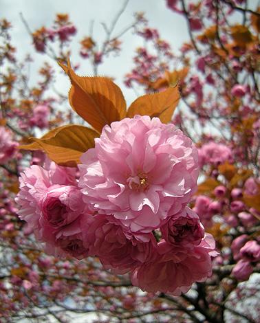 4月24日 八重桜咲く_a0001354_2281978.jpg