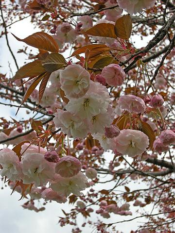 4月24日 八重桜咲く_a0001354_2284165.jpg
