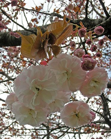4月24日 八重桜咲く_a0001354_2285423.jpg