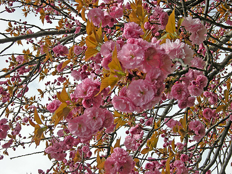 4月24日 八重桜咲く_a0001354_228739.jpg
