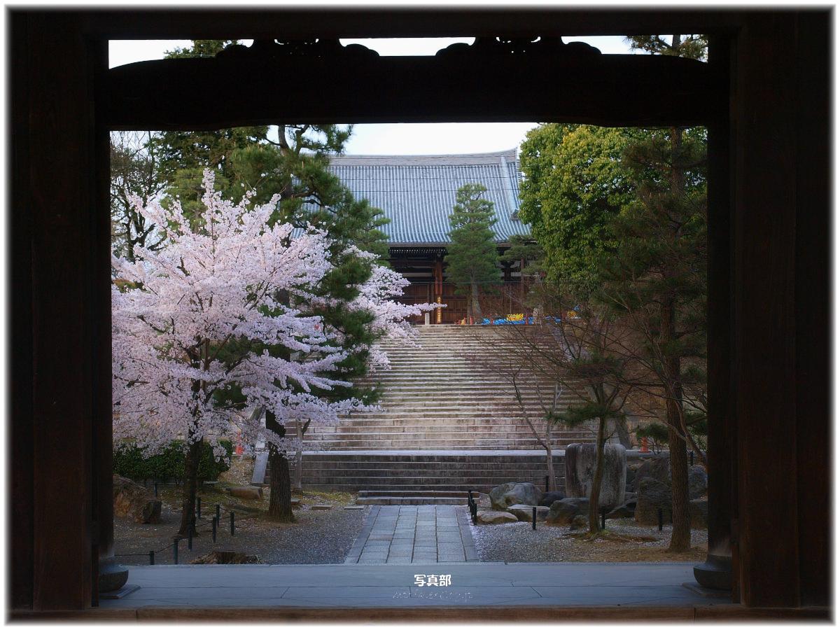 京都 金戒光明寺 桜_f0021869_321096.jpg