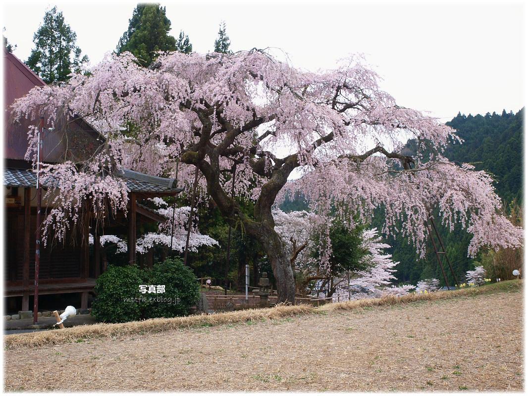 奈良 西光寺 桜_f0021869_365671.jpg