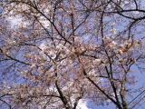 桜には青空です。_d0027486_13301758.jpg