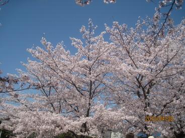 今年の桜も終りました_e0016894_011256.jpg