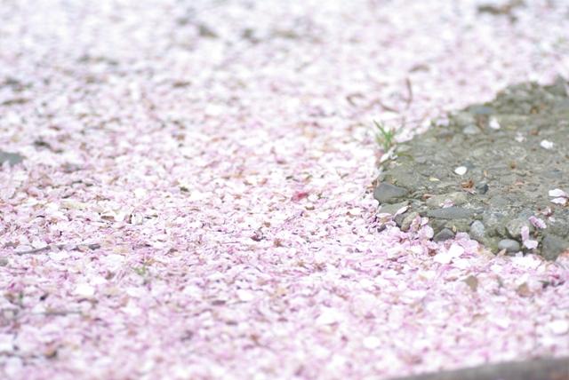 桜、桜、桜・・・。_f0172518_22424396.jpg