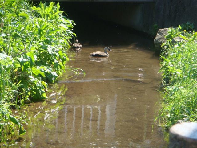 上水沿いにも春_a0137727_16453588.jpg