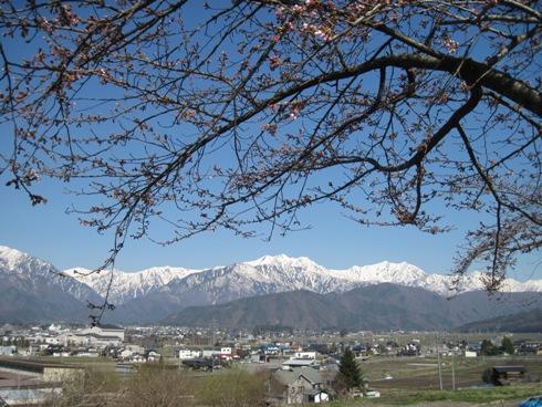 桜情報「大町観光道路」_b0140235_961368.jpg