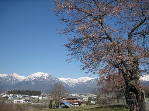 桜情報「大町観光道路」_b0140235_96252.jpg