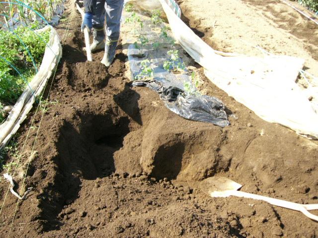忙しいは心を亡くす・・去年里芋を埋けた場所にトマトの畝作ってしまった!_c0222448_1155577.jpg