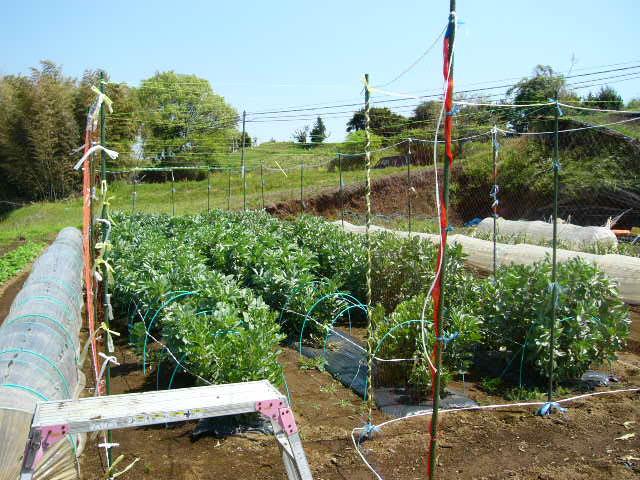 忙しいは心を亡くす・・去年里芋を埋けた場所にトマトの畝作ってしまった!_c0222448_11582936.jpg