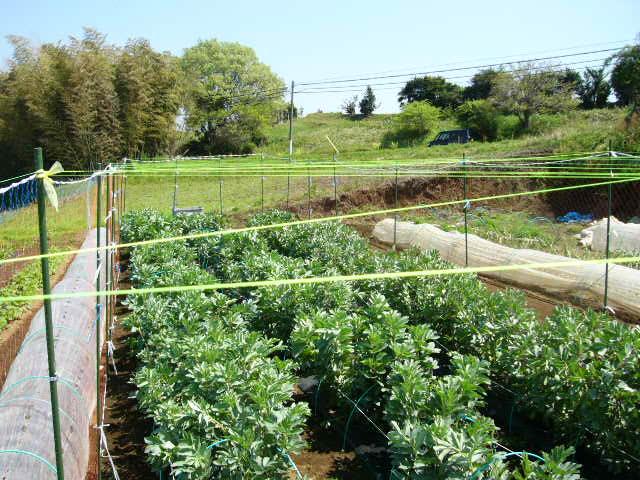 忙しいは心を亡くす・・去年里芋を埋けた場所にトマトの畝作ってしまった!_c0222448_11585814.jpg