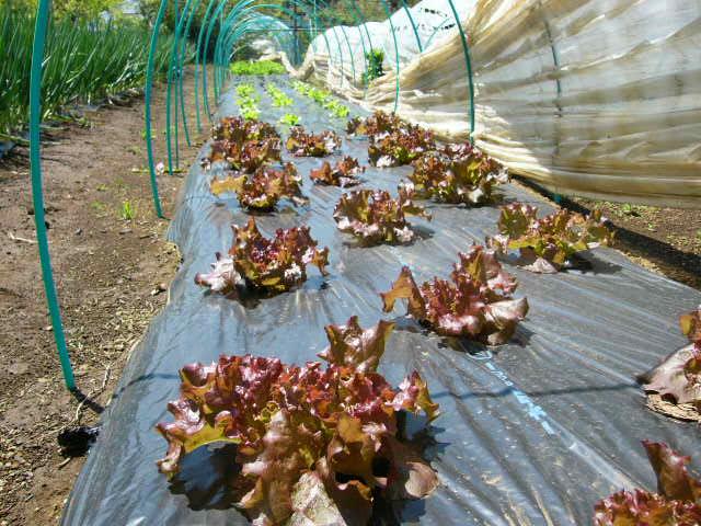 忙しいは心を亡くす・・去年里芋を埋けた場所にトマトの畝作ってしまった!_c0222448_1533118.jpg