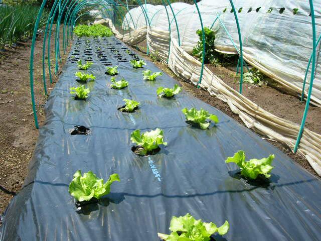 忙しいは心を亡くす・・去年里芋を埋けた場所にトマトの畝作ってしまった!_c0222448_1534250.jpg
