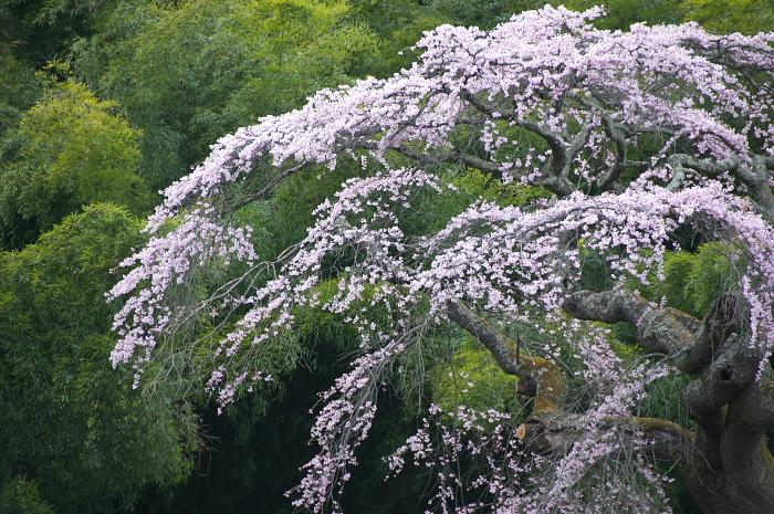 桜仙峡・池田町(陸郷)_e0056449_1935464.jpg