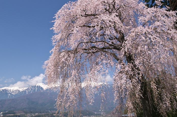 伊那路の桜旅_e0056449_19433588.jpg
