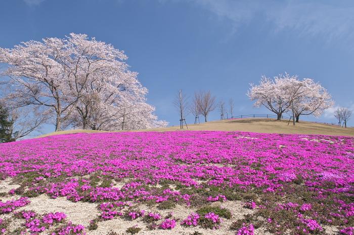 見ごろを迎えた近郊の桜_e0056449_19472165.jpg