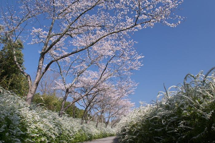 見ごろを迎えた近郊の桜_e0056449_19485023.jpg