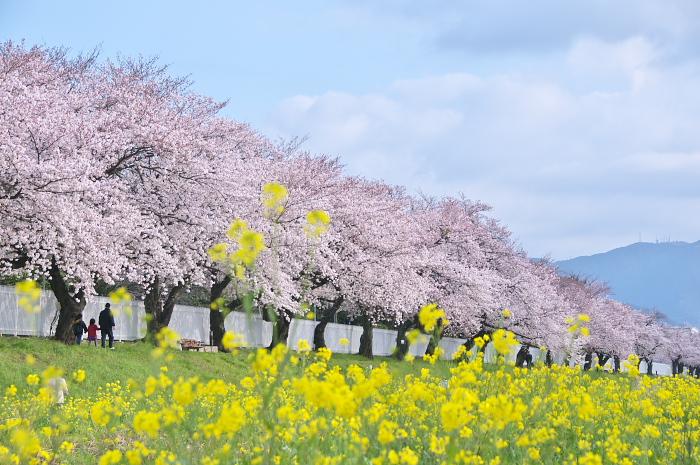 見ごろを迎えた近郊の桜_e0056449_19491529.jpg