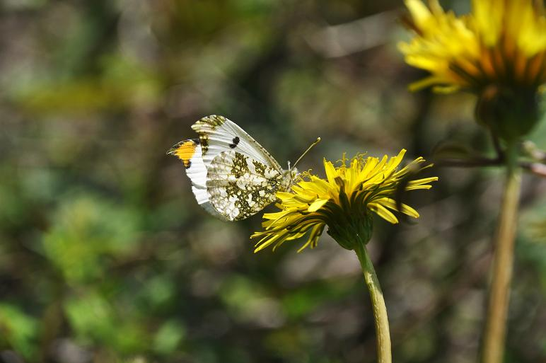 タンポポにツマキチョウが吸蜜_e0194952_1795964.jpg