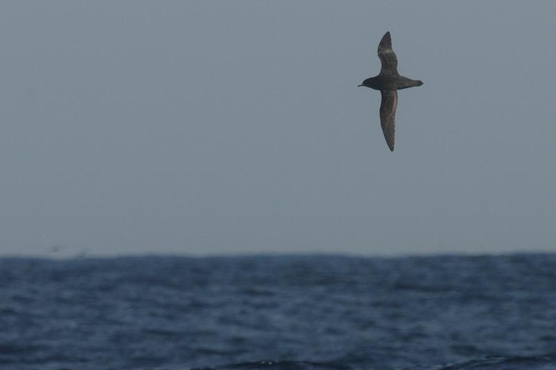 海鳥ウォッチング-2(ハイイロミズナギドリ ハシボソミズナギドリ)_d0099854_0105474.jpg