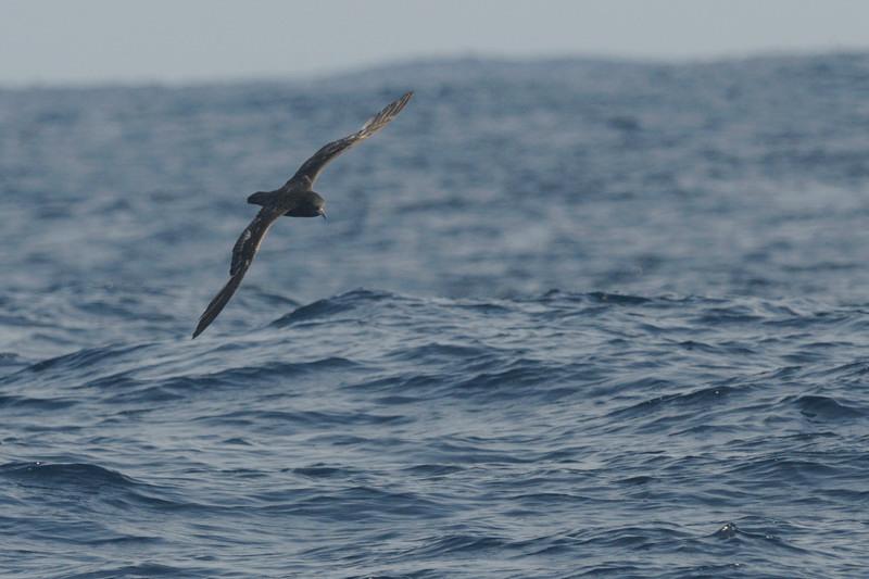 海鳥ウォッチング-2(ハイイロミズナギドリ ハシボソミズナギドリ)_d0099854_052255.jpg