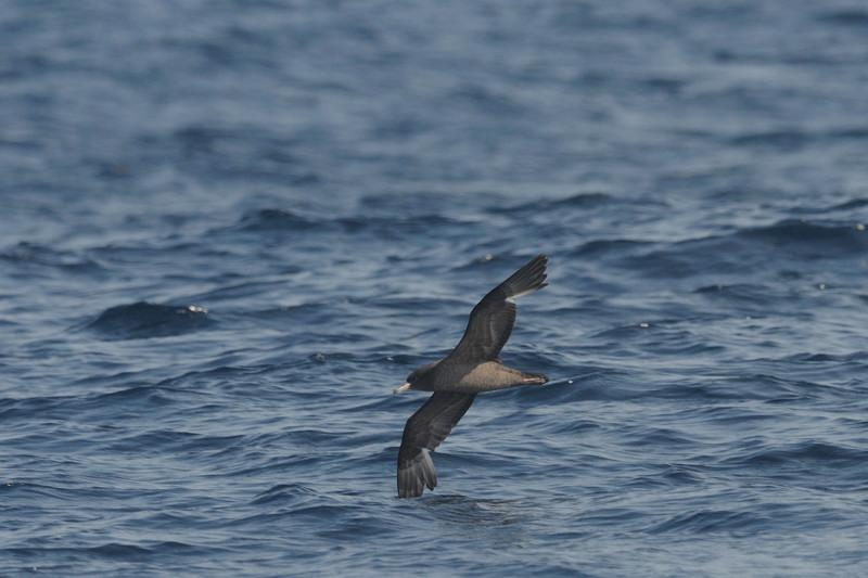 海鳥ウォッチング-2(ハイイロミズナギドリ ハシボソミズナギドリ)_d0099854_053289.jpg