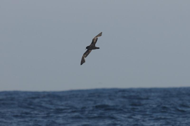 海鳥ウォッチング-2(ハイイロミズナギドリ ハシボソミズナギドリ)_d0099854_054960.jpg